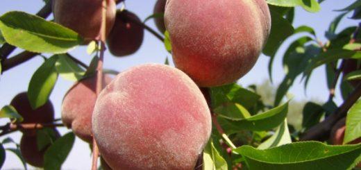 Персики наполнят организм витаминами