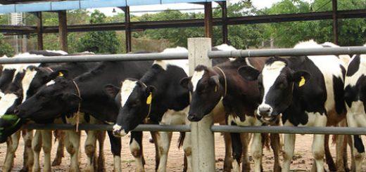 разводить нечувствительных к боли коров
